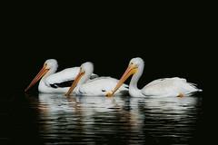 Pelican Trio (TexasEagle) Tags: pelicans dallas bravo texas whiterocklake pelecanuserythrorhynchos americanwhitepelicans canonef70300mmf456isusmlens canon7d