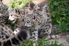 snow leopard cubs (Cloudtail the Snow Leopard) Tags: zoo salzburg tier animal mammal säugetier katze cat groskatze raubkatze bigcat beutegreifer raubtier schneeleopard snow leopard irbis panthera uncia cub jung young cloudtailthesnowleopard