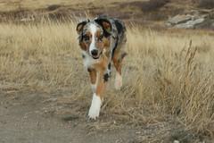 147/365 Cap (BlueDog_1199) Tags: blue dog canon puppy rebel shepherd australian days cap captain 365 aussie australianshepherd merle t1i