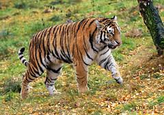 Amur Tiger ♀  'Dominika'  (Panthera tigris altaica) (Dave N Roach) Tags: tiger bigcats pantheratigrisaltaica amurtiger highlandwildlifeparkkingcraiginvernessshirescotland