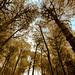 Forêts de pins