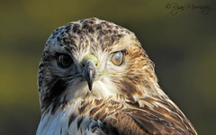 """Visors Activated!"" (NYC Wild) Tags: nyc red urban detail bird closeup brooklyn hawk wildlife juvenile tailed membrane b13 juvy 11232 nictitating canon7d"