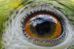 I see in your eyes!                      Papagaio-campeiro (Yellow-crowned Parrot) (Jonatan Vitor Lemos) Tags: mirror eyes parrot olhos papagaio amazona ochrocephala