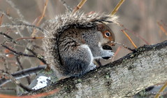 DSC_0443 (rachidH) Tags: nature squirrel nj liriodendrontulipifera sparta sweetgumtree liquidambarstyraciflua tuliptree ecureuil rachidh