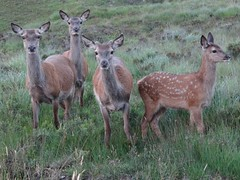 Deer, Lochinver, Assynt - Kirsty Davis