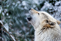 WOLVES_Jan182014_0206 (Roni Chastain Photography) Tags: animals wolf wildanimal wolves canines wolfconservationcenter flickraward nywolf rockymountaingraywolf