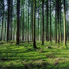 Verticality IV (M a r c O t t o l i n i) Tags: trees color 6x6 film nature zeiss forest square switzerland suisse kodak arbres epson mf couleur forêt carré vaud distagon hasselblad500cm yens v700 portra160 vuescan epsonv700 epsonperfectionv700 marcottolini 6x6only distagon4050mm