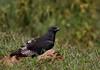 Dark phase Augur Buzzard (Rainbirder) Tags: kenya nakuru augurbuzzard buteoaugur rainbirder darkphaseaugurbuzzard