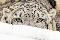 Stalking Snow Leopard (Mark Dumont) Tags: snow animals cat mammal snowflakes zoo mark cincinnati leopard dumont