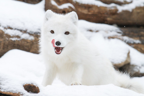Arctic Fox Playing by Mark Dumont, on Flickr