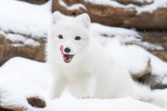 Arctic Fox Playing (Mark Dumont) Tags: snow animals snowflakes zoo mark cincinnati arctic fox dumont