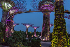 Singapore Gardens by the Bay - Supertrees (polar_1) Tags: bridge gardens by skyline night marina hotel bay flyer nikon singapore grove helix sands fullerton merlion skyway ocbc esplanades d7100 supertrees