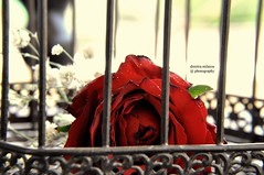 a dream behind bars... (dimitra_milaiou) Tags: life light red flower love rose design still nice hurt nikon iron day alone loneliness heart time live 14 cage valentine greece prison together passion inside lonely moment lovely february prisoner feelings peloponissos dimitra d90 δήμητρα πελοπονησσοσ πελοπόνησσοσ δημητρα milaiou μηλαιου μηλαίου