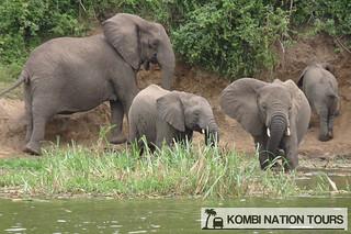 Elephants on the Kazinga Channel, Queen Elizabeth National Park