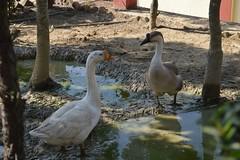 Pak Pak... Pak Pak (Kunal-Chowdhury) Tags: bird nature birds duck nikon ducks