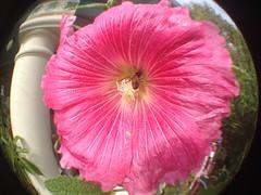 IMG_9810 - Version 2 (chicbee04) Tags: pink flowers arizona white distortion green apple pool yellow tucson pov perspective pollen poolside honeybee photostream fisheyelens flowerpots pinkhollyhock dancingbee iphone4s