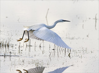 Little Egret in Flight - Elmley