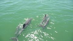 Dolphin Watching, St. Pete Beach (williamsdb) Tags: usa tampa orlando florida dolphins 2014 neilthompson
