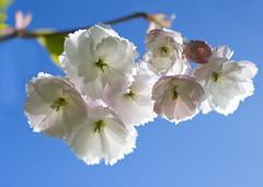 Cherry Blossom I (SamKirk9) Tags: flowers 50mm bluesky cherryblossom brockley brockleycemetery brockleyladywellcemetery 100happydays