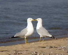 Ambition (Lynne Dohner) Tags: sun chicago beach birds nose spring sand lakemichigan april ambition michigancityindiana
