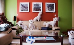 298 - Puppy Invasion (IamJudyZ) Tags: red dog brown white reflection green home dogs colors wall photoshop painting puppy table living frames nikon colorful europe hungary colours buddha edited stripes room budapest picture livingroom sofa blanket frame bichon trick colourful nikkor coffeetable 18200 duplicate 1652 18200mm mudi paralells d7000 52weekschallenge 52weeksofphotography