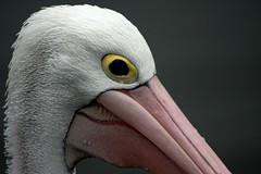 pelican (Sharon and Peter Komidar) Tags: bird waterbird pelican
