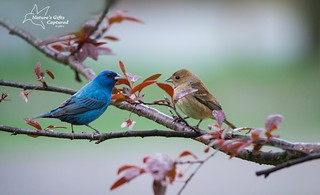 Indigo Bunting Couple