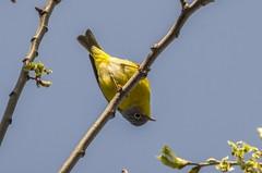 Looking Down On Me - Nashville Warbler III (Miguel de la Bastide) Tags: bird nature backyard nashville small tokina sl sd f56 warbler 400mm nashvillewarbler