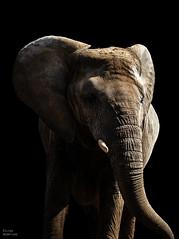 african elephant (Kilian H.) Tags: africa light elephant black detail macro animal closeup contrast canon dark photography eos grey zoo big fotografie skin body head 5 five african background ears 100mm sharp full explore h magdeburg 7d huge afrika kilian elefant 28l loxodonta africana afrikanischer hermfisse