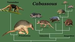 Xenarthra Phylogeny The World's newest pho...