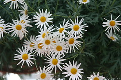 An Explosion of Daisies (eyriel) Tags: flowers white flower macro green nature garden conservatory greenhouse
