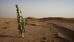 Fresh green flourishing in hostile conditions (dirk huijssoon) Tags: africa desert northafrica islam morocco marokko nkc campertour camperreis nkcrondrit rondritmarokko20144 nedrlandsekampeerautoclub camperreismarokko nkccampertout nkcreis