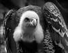 Gyps rueppellii (Nogatron) Tags: portrait blackandwhite bird eye zoo noiretblanc beak feathers endangered rare beady vulnerable rüppellsgriffonvulture
