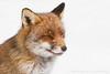 Portret in the snow (Explore) (Alex Verweij) Tags: winter white snow nature sneeuw natuur explore fox 7d portret wit vos redfox reinier vulpus alexverweij vulpusvulpes