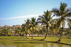 Paddy Green (abgrafixlab) Tags: india tree field rice paddy coconut karnataka hampi vijayanagara 500px ifttt