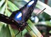 Butterfly at WILD LIFE Sydney Zoo (myopixia) Tags: butterfly darlingharbour myopixia wildlifesydneyzoo