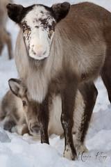 (Maria Klang) Tags: snow reindeer sweden lapland mariaklang