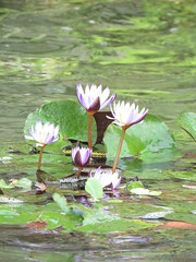 water moment (oneroadlucky) Tags: plant flower nature purple lotus