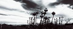 Amapola (*paz) Tags: nature rural blackwhite nubes drama surdechile amapola nocolor balncoynegro