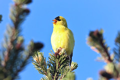 Willow Goldfinch (maritimeorca) Tags: bird animal goldfinch finch chamberscreekproperties willowgoldfinch spinustristis