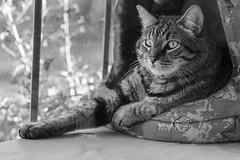 Black and White Portrait of  a Tabby... (DMD67) Tags: blackandwhite bw monochrome cat nikon feline tabby kitty 85mm whiskers d750 tabbycat nikkorafs85mm18g