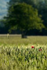 FEM_3424m (MILESI FEDERICO) Tags: wild italy detail primavera nature colors nikon italia colore details natura piemonte dettagli colori piedmont maggio papaveri valsusa dettaglio 2016 papavero nital valdisusa milesi valledisusa d7100 visitpiedmont valliolimpiche nikond7100 milesifederico