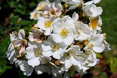 Maig_1014 (Joanbrebo) Tags: barcelona park flowers parque flores fleur blossom blumen fiori parc flors autofocus lunaphoto parccervantes efs18135mmf3556is canoneos70d