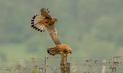 falcon couple in the mating season (hardy-gjK) Tags: nature birds germany deutschland nikon gallery superb spirit wildlife vineyards falcon simply vgel natures kestrel falken weinberge turmfalke nikonflickraward