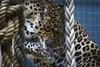 Big cat (sz1507) Tags: felines d60 nikond60 felini felino bigcat berlin berlinzoo zoologischergarten zoo spots macchie leopardo leopard animals animali animal