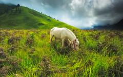 fairy tale (chocoorange) Tags: horse white green grass indonesia bromo semeru tengger