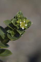 Sea Sandwort (Honckenya peploides) (macronyx) Tags: flowers plants plant flower nature blommor sandwort växter växt arv honckenya honckenyapeploides seasandwort saltarv