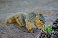 On the Border (brev99) Tags: park grass animal squirrel path riverwalk d7100 topazdenoise topazdetail tamron70300vc highqualityanimals