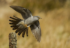 Cuckoo Taking Flight - 2nd May 2016 (Liam Filtness photography.) Tags: nature photography nikon wildlife flight cuckoo d4 wildlifephotography sigma120300