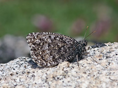 Chryxus Arctic (Oeneis chryxus) (Ron Wolf) Tags: nature butterfly insect colorado wildlife lepidoptera alpine camouflage rockymountains mountevans nymphalidae subalpine clearcreekcounty chryxusarctic oeneischryxus arapahonationalforest